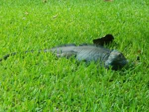 Native Blue Iguana