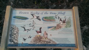 There were lots of Brown Boobies at the Brac Bluff